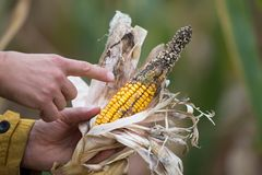 Landwirt, der Mais mit Krankheit hält stockfotos