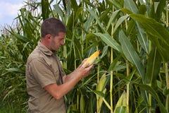 Landwirt, der Maisernte prüft stockfotografie