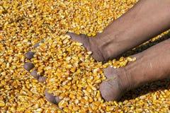 Landwirt, der Maiskörner in seinen Händen hält lizenzfreies stockbild