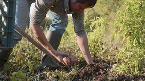 Landwirt, der oben mit einem showel gräbt und Süßkartoffeln am Feld erntet stock video