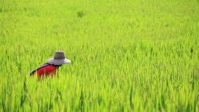 Landwirt, der reifen ungeschälten Reis erntet Stockfotografie