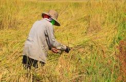 Landwirt, der Reis erntet Stockbilder