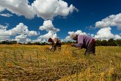 Landwirt, der Reis in Thailand erntet stock abbildung
