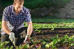 Landwirt, der Rote-Bete-Wurzeln im Gemüsefleckengarten erntet stockbilder