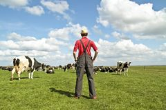 Landwirt, der seine Kühe betrachtet stockfotografie