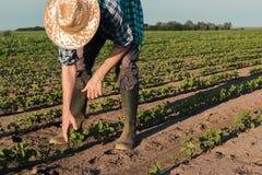 Landwirt, der an Sojabohnenplantage, Untersuchungsernteentwicklung arbeitet lizenzfreie stockfotografie