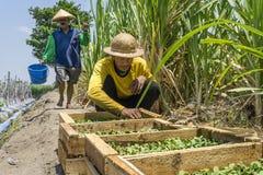 Landwirt, der Sprösslinge bevor dem Pflanzen überprüft Lizenzfreies Stockbild
