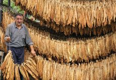 Landwirt, der trockene Tabakblätter trägt Stockbilder
