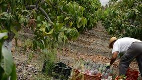 Landwirt, der tropische Frucht der Mango in einer Plantage landwirtschaftlich sammelt stock video
