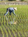 Landwirt, der ungeschälten Reis auf dem Ackerland pflanzt Lizenzfreie Stockfotografie
