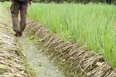 Landwirt, der Zwiebel auf Ackerland pflanzt Stockfoto
