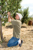 Landwirt in einem Obstgarten Stockfoto