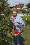 Landwirt-Frau-Sammeln-Kirschen vom Kirschbaum Lizenzfreies Stockfoto