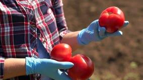 Landwirt hält eine Tomate auf dem Hintergrund eines Arbeitstraktors auf dem Gebiet stock footage
