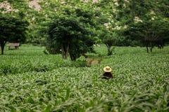 Landwirt im Großen Maisgarten für die Landwirtschaft Stockfotografie