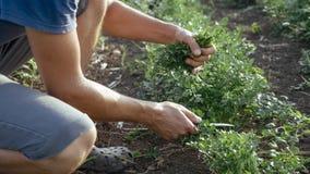 Landwirt im Hut, der frische Petersilie durch Messer auf dem Feld organischen eco Bauernhofes erntet Lizenzfreies Stockbild