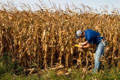 Landwirt-Inspecting Corn-Feld Lizenzfreie Stockfotografie