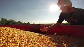 Landwirt Inspecting Maize Grains stock video footage
