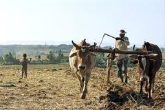 Landwirt ist mit dem Pflug und Ochsen, die seins Feld pflügen Lizenzfreie Stockfotografie