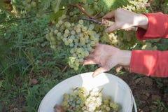Landwirt mit Garten scissors den Schnitt einer großen Weintraube im sonnigen Tal Arbeit über Weinberge während der Ernte Stockfoto