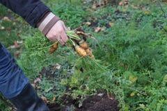 Landwirt mit geernteten Karotten vom organischen Gemüsegarten, lokales Landwirtschaftskonzept Stockbild