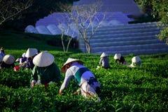 Landwirt mit konischem in havest Tee Vietnams Lizenzfreie Stockbilder