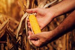 Landwirt mit Mais-Maiskolben der Ernte bereitem reifem auf dem Gebiet lizenzfreie stockbilder