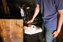 Landwirt mit seinen calfs Lizenzfreie Stockfotografie