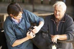 Landwirt mit Tierarzt-überprüfenkalb Stockfotografie