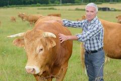 Landwirt nahe bei Ochsen lizenzfreies stockfoto