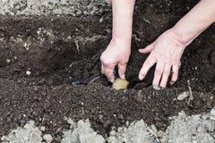 Landwirt pflanzt Saatkartoffel im Loch im Garten Lizenzfreie Stockfotos