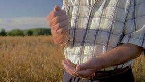 Landwirt-Pour Golden Ripe-Körner vom Mann-gegen-Mannhintergrund The Field stock video