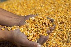 Landwirt ` s übergibt das Halten des geernteten Korn-Mais lizenzfreie stockbilder