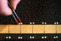 Landwirt ` s Hand, welche die Pinzette genau pflanzt Samen für Pfeffersämlinge hält lizenzfreie stockfotografie