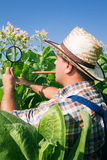 Landwirt schaut Tabak auf dem Gebiet Stockfotos