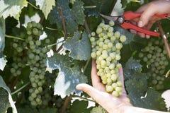 Landwirt schneidet eine Weintraube Stockfotos
