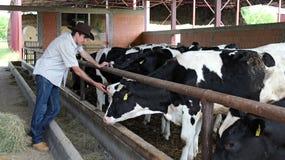 Landwirt in seinem Kuh-Bauernhof stockfoto