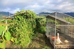 Landwirt steigt goshts im Garten Stockbild