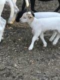 Landwirt- und Kätzchenzufuhrpferd stockbild