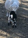 Landwirt- und Kätzchenzufuhrpferd Lizenzfreies Stockfoto