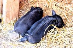Landwirt- und Kätzchenzufuhrpferd Stockfotos