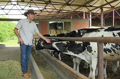 Landwirt und Kühe Stockfoto