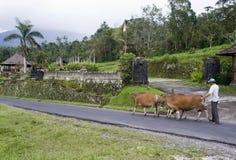 Landwirt und seine Kühe Stockfoto