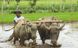Landwirt Working mit Büffel zwei Stockfoto