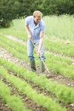 Landwirt-Working In Organic-Bauernhof-Feld, das Karotten harkt Stockbild