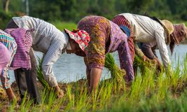 Landwirte arbeiten auf den Reisgebieten in Kambodscha lizenzfreie stockfotografie