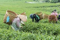 Landwirte arbeiten an Teefeld, Bao Loc, Lam Dong, Vietnam lizenzfreie stockbilder