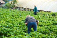 Landwirte auf dem Erdbeer-Gebiet in Aden bewirtschaften, Montag-Stau, Chiang Mai - Nord-Thailand Stockfotos