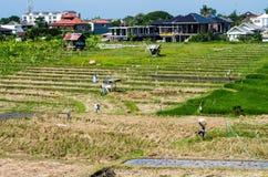 Landwirte auf einem Reisfeld Stockfotos