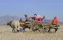 Landwirte auf Ochsenkarren im Reisfeld Lizenzfreies Stockbild